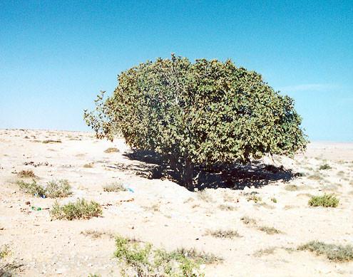 tobruk-world-war-2-fig-tree-australian-field-hospital-libya